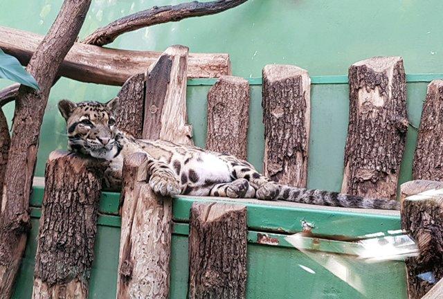 Ранняя сиеста. Это дымчатый леопард