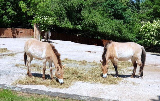 В зоопарке разводят лошадей Пржевальского