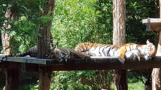 Тигры тоже отдыхают