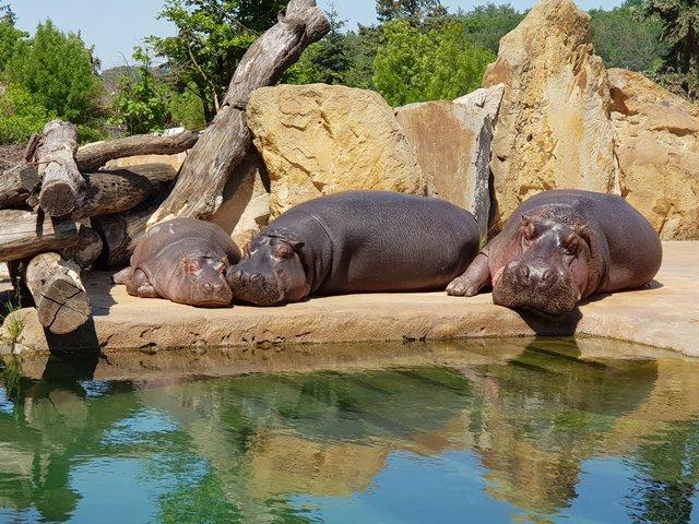 Бегемоты расслабляются на суше