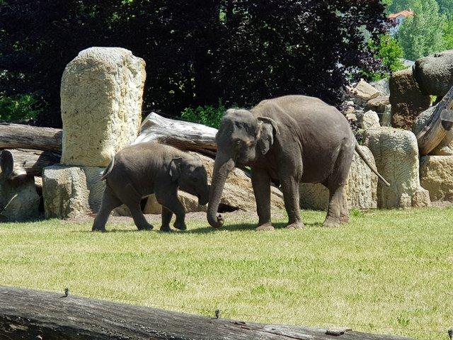 В зоопарке живут семь индийских слонов