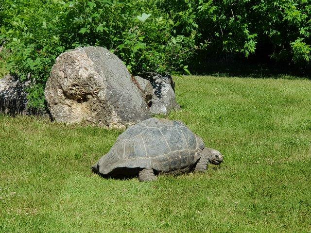Черепаха с острова Санта-Крус